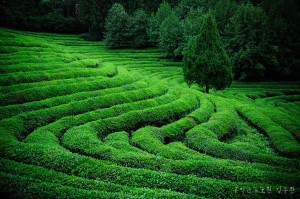 champ de thé à Shizukoa